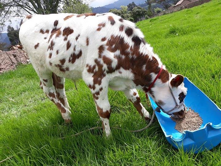 Pasto para ganado lechero