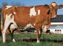 ¿Cuanto vive una vaca?