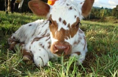 ternero recién nacido