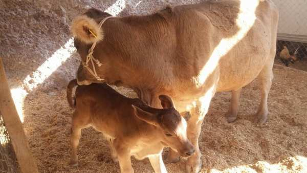 vaca parida con ternero o becerro