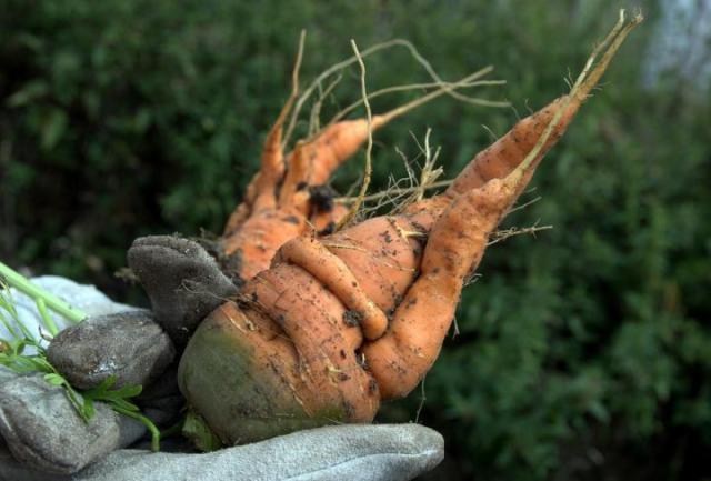 zanahoria deformada