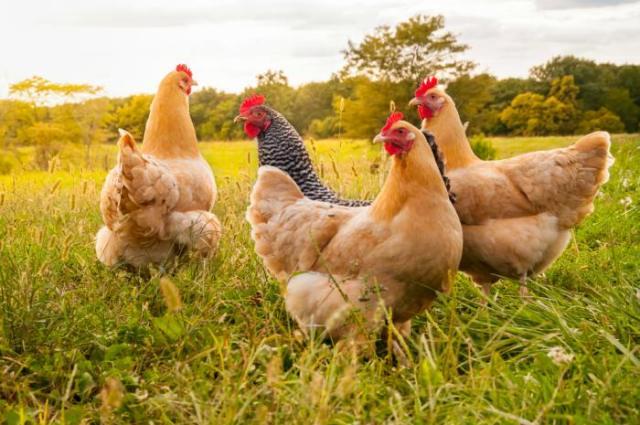 gallinas ponedoras como cuidarlas