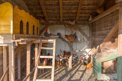 Planifica y construye tu gallinero
