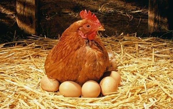 ¿Cuanto tiempo tarda un huevo de gallina en eclosionar o romperse?