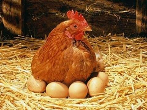 cuanto tiempo dura una gallina para dejar de poner huevos