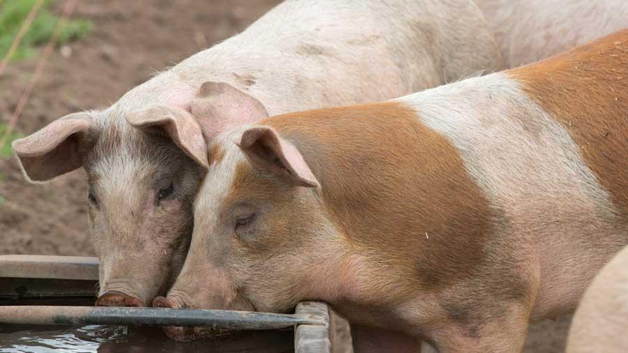 El maiz engorda a los cerdos