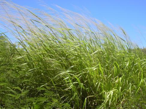 Guinea grass (Panicum maximum) pasto ganado lechero
