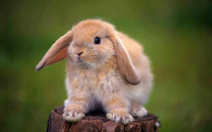 10 mejores razas de conejos