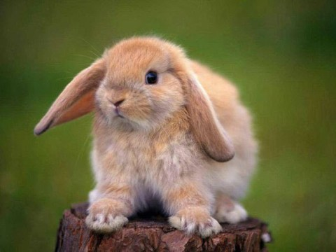 Holland Lop