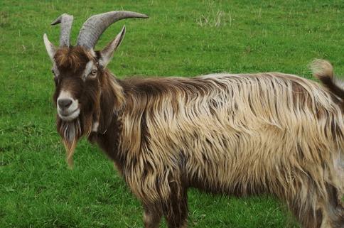 A que edad se puede aparear una cabra