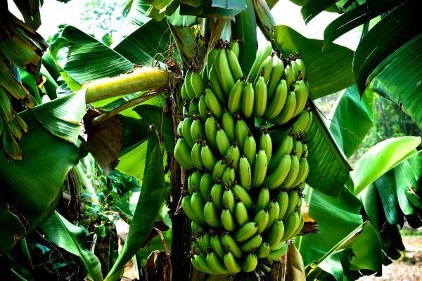 el cultivo de banano