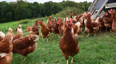 Datos curiosos sobre los pollos