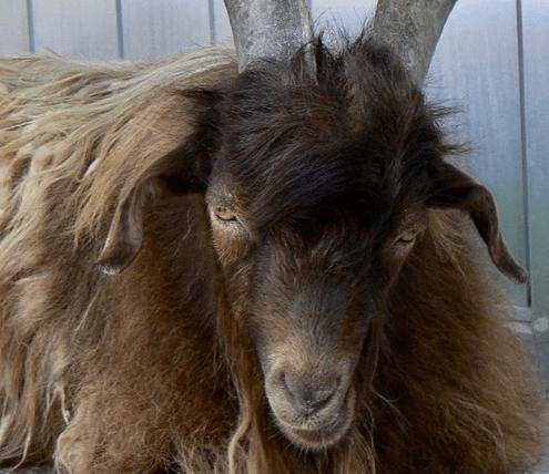 La cría de cabras: lo básico