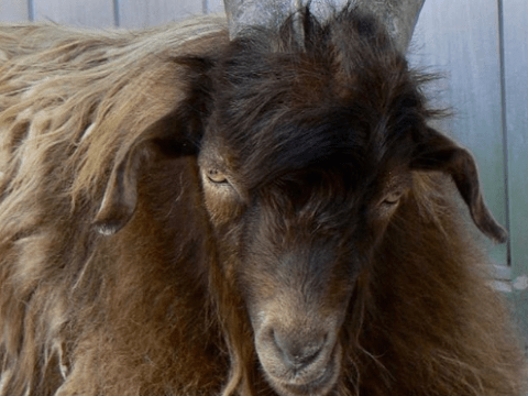 criar cabras consejos básicos