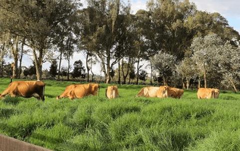 vacunas para el ganado bovino en Australia