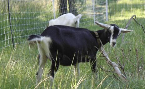 cabra mini alpina