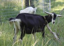 Criar Mini Cabras Alpinas en una Granja
