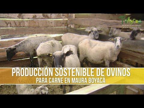 Que es la Producción Sostenible de Ovinos para Carne
