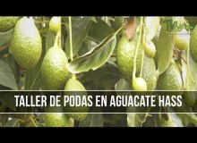 Beneficios de la Bioestimulacion de Arboles de Aguacate (Palta)