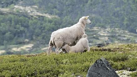 produccion de ovinos u ovejas para carne