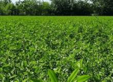 ¿Qué tan temprano se puede cortar la alfalfa?