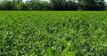 que tan temprano se puede corta la alfalfa