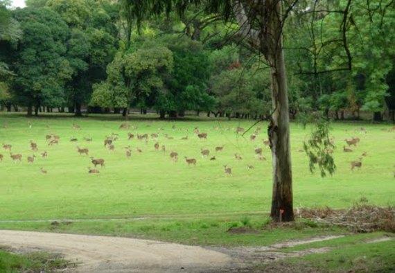Ciervos en Anchorena