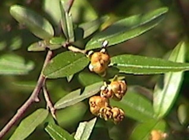 Fruto de sarandí blanco