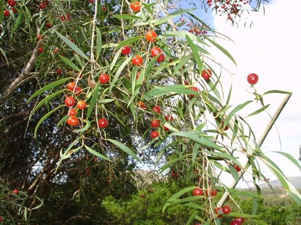 Fruto del arrayán