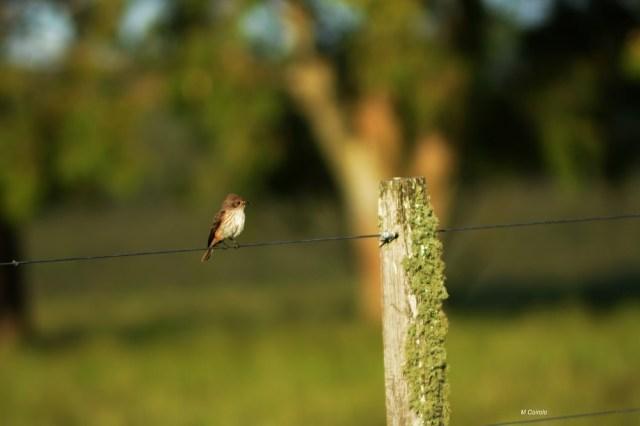 Pájaro Churrnche hembra