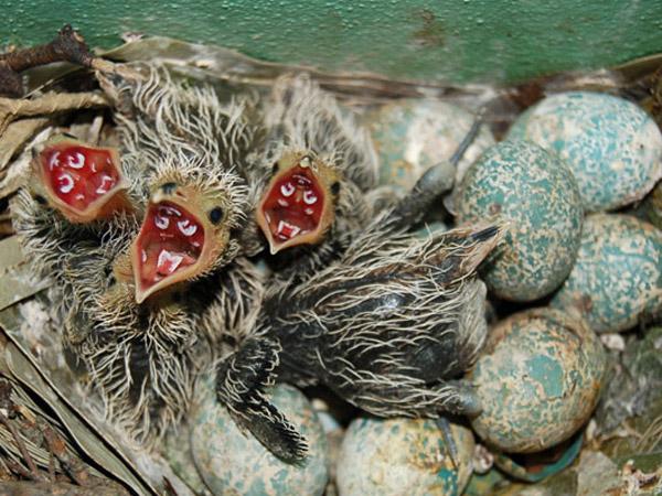 Cría y huevos de pirincho