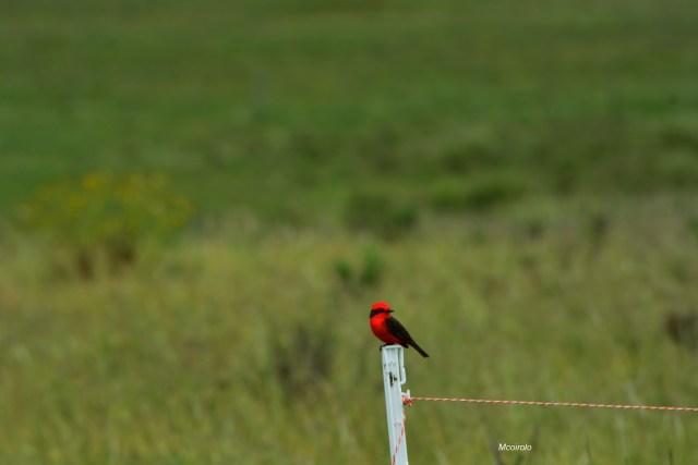 Pájaro Churrinche macho