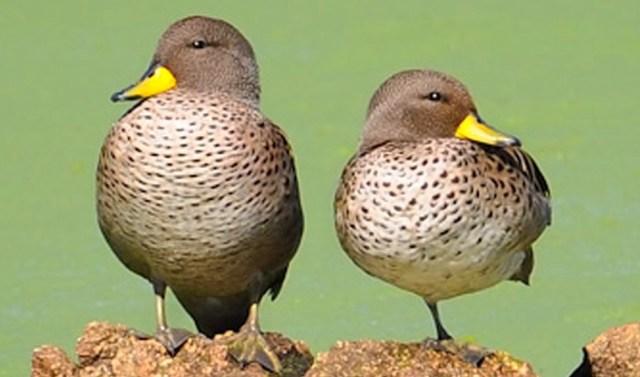 Pareja de patos barcinos