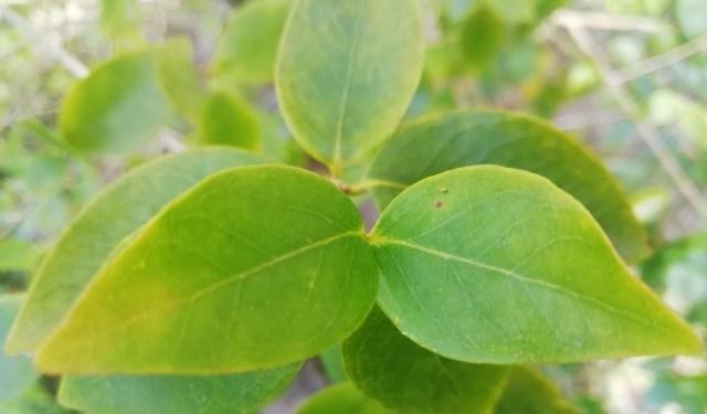Hojas del árbol de pitanga