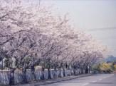 浄化センター入口の桜並木