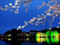 特選 「今宵の桜」池嶋清