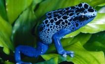 Blue-Poison-Dart-Frog