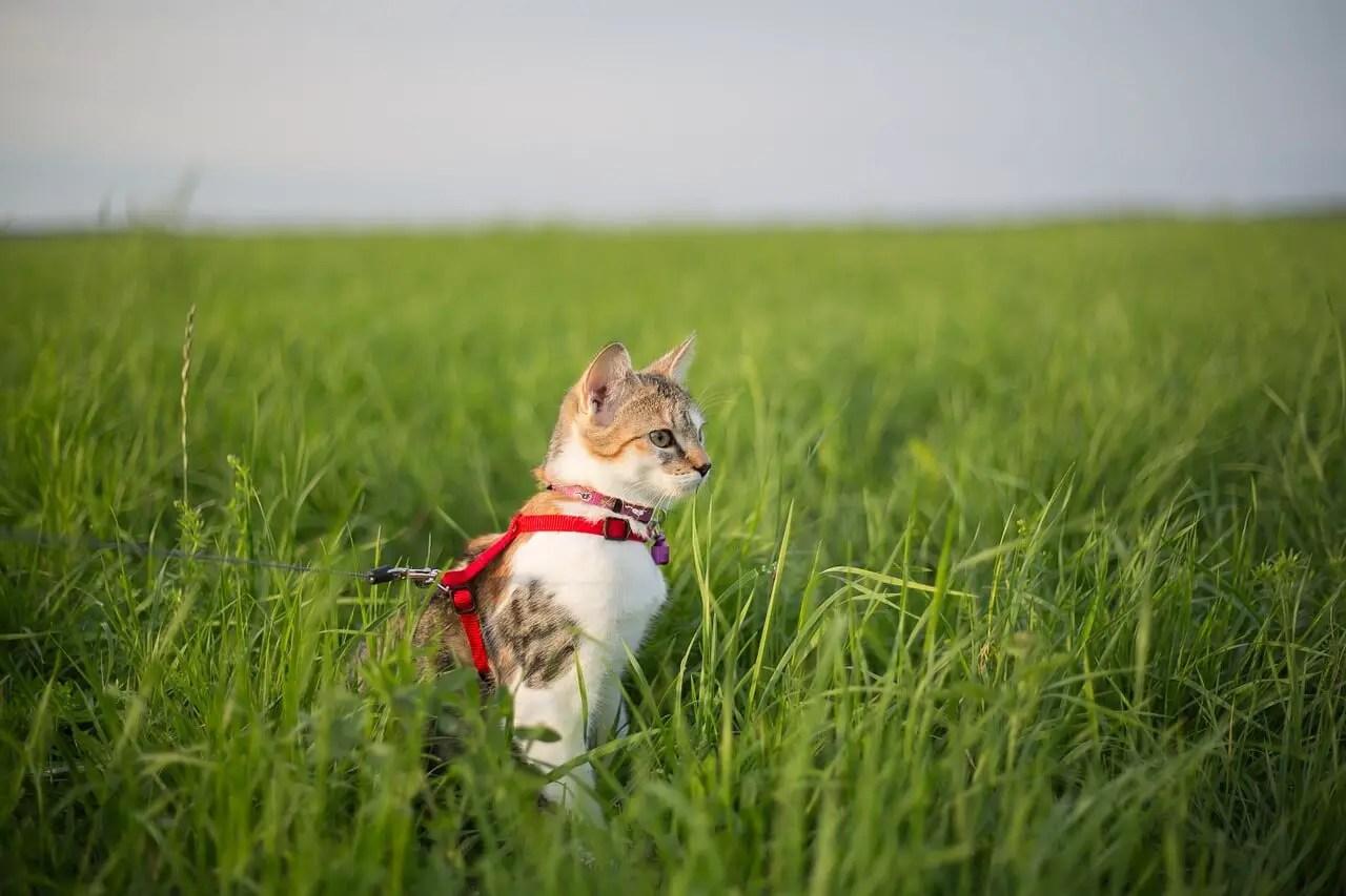 Comment promener son chat en laisse ?