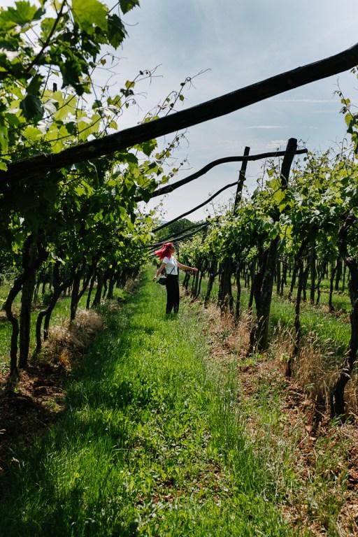 Kraški vinogradi v bližini Štanjela med izletom na Kras