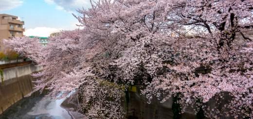 2014年春の桜