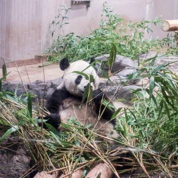 上野動物園 パンダ