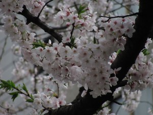 the magnificent cherry blossoms