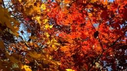 Autumn Leaves near Tokyo Tower
