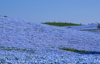 Hitachi Seaside Park : Nemophila Harmony