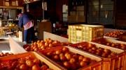 Morita-en Mikan orchard