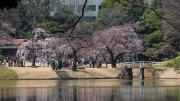 Sakura_Korakuen