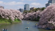Tokyo Imperial Palace Cherry Blossom