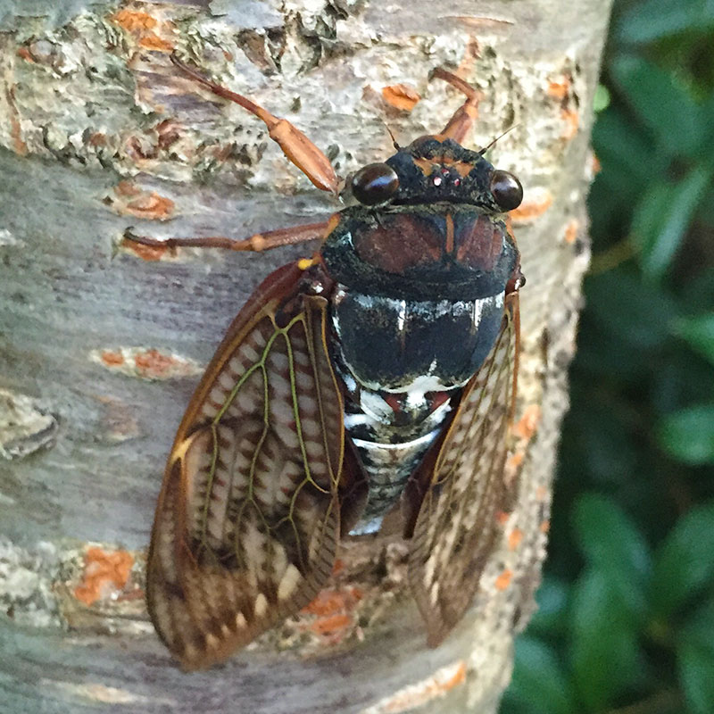 Japanese Cicada - Semi