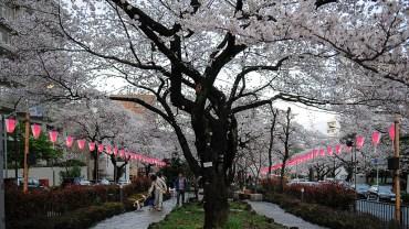 Bunkyo Sakura Matsuri (The Sakura Guide)