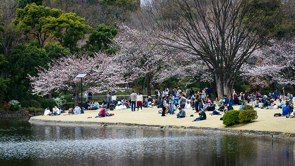 Kitanomaru Koen (The Sakura Guide)